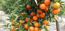 Citrus tree (UCR News, UC Riverside) for Napa Master Gardener Column Blog