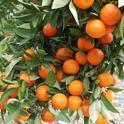 Citrus tree (UCR News, UC Riverside)