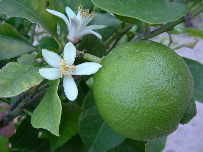Citrus magic - fruit and blossom at the same time (Wikipedia)