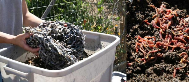 Worm composting (City of Davis, CA)