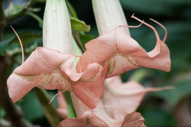 pale pink Brugmansia (Pixabay)