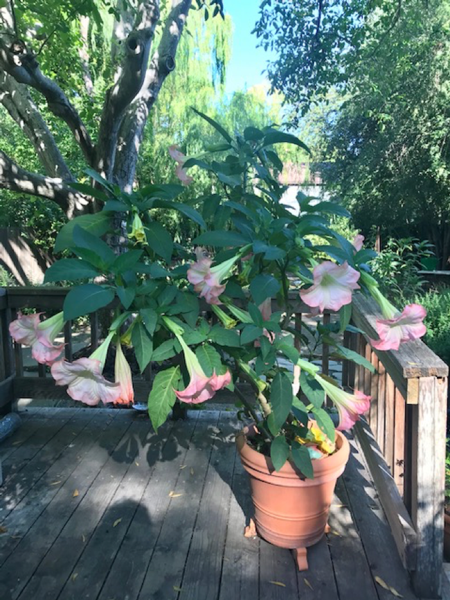 Cindy's own Brugmansia