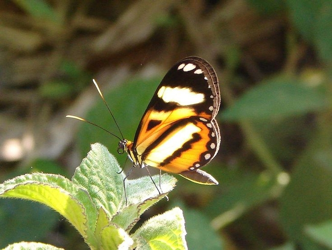 That butterfly, Placidula euryanassa (Pinterest)