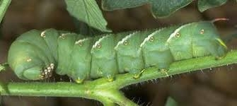 Tomato hornworm--the horns are on the rear end. (UC ANR)
