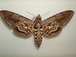 Sphinx moth (Master Gardener Assn of San Diego)