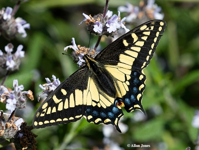 Anise swallowtail--caterpillars not having been host to parasitic wasps become this pretty garden visitor (Allan Jones, UC ANR)