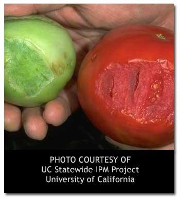 Tomato hornworm damage (UC IPM)