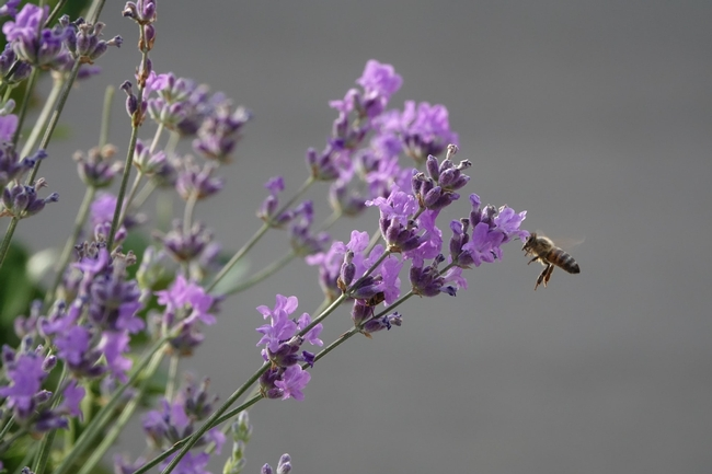 Bees love purple flowers.  (Unsplash/brinzan-sabina)
