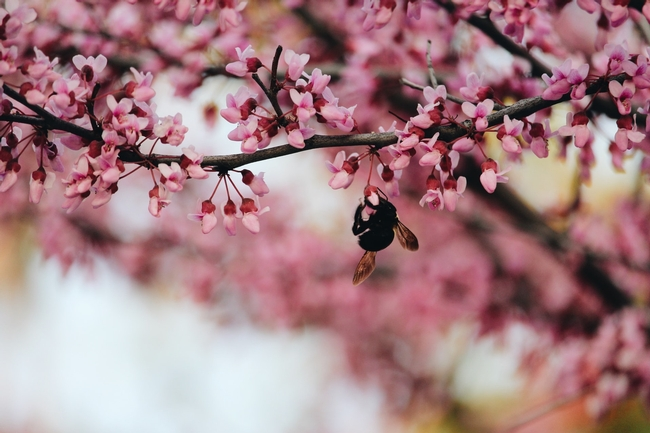 Bees love cherry blossoms. (Unsplash/zuleika-sequeira)