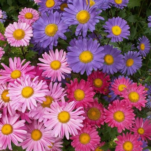 China aster. (Eden Brothers)