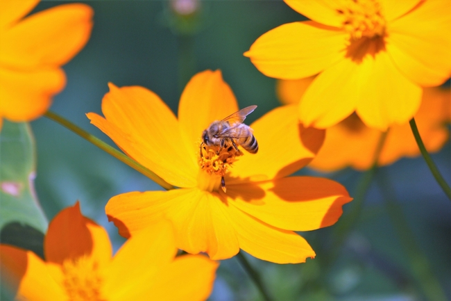 Coreopsis with bee. (Public Domain Pictures)
