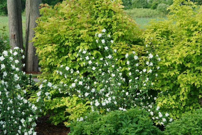 Philadelphus, plenty of species of this pretty landscape plant. (Proven Winners)