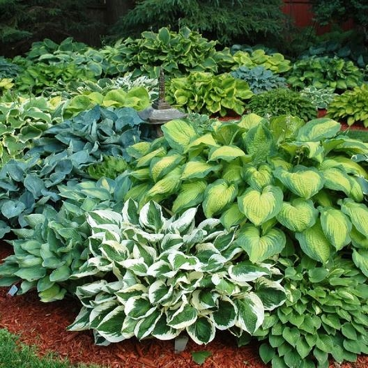 Hostas. (Eden Brothers)