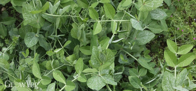 Peas and favas cover crop. (GrowVeg.com)