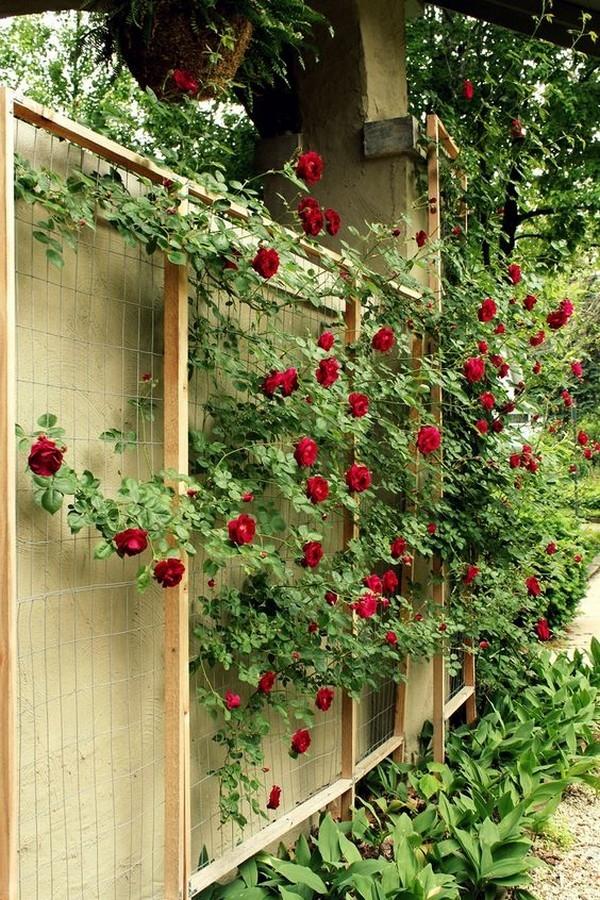 Climbing wild rose (gardeningsoul.com)