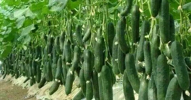 Cucumbers growing--that's a lot! (healthspiritbody.com)