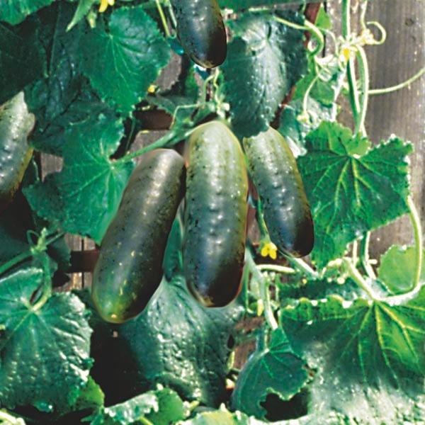 Bushy cucumber (mygardeninsider.com)