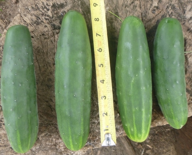 Straight 8 cuke (jdheirloomseed.weebly.com)