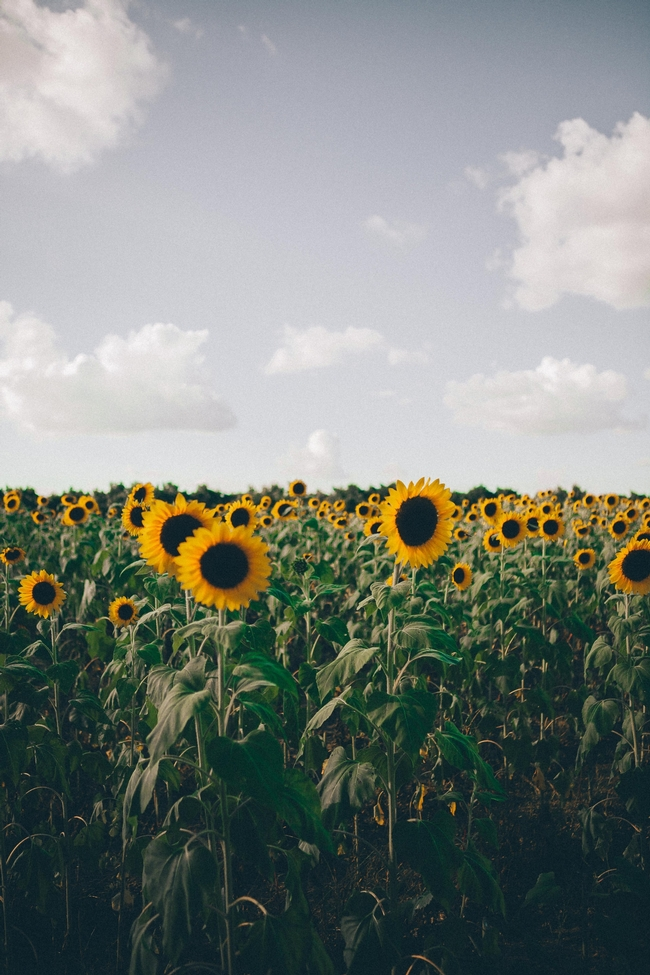 Sunflower 1 (yoel-j-gonzalez-unsplash)