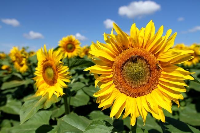 Sunflower 3 (audrius-sutkus-unsplash)