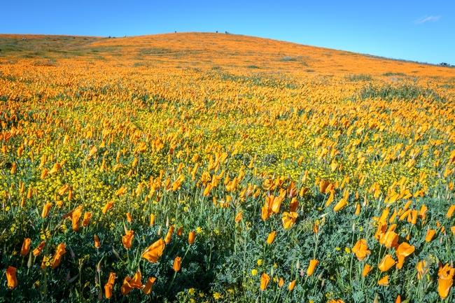 California poppy  (Steve Harvey.Unsplash)