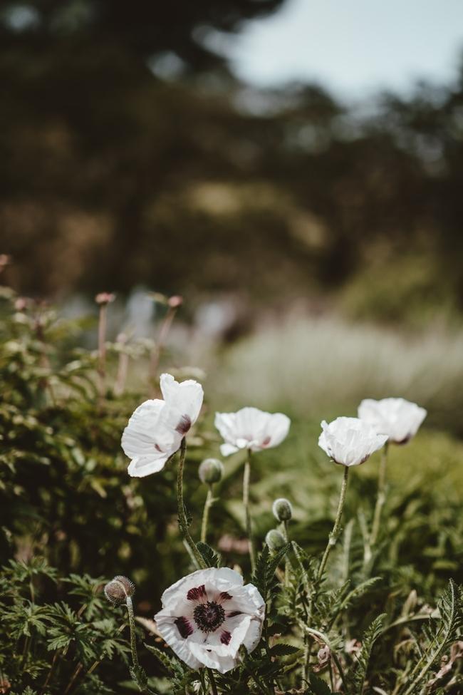 White poppy (Annie Spratt.Unsplash)