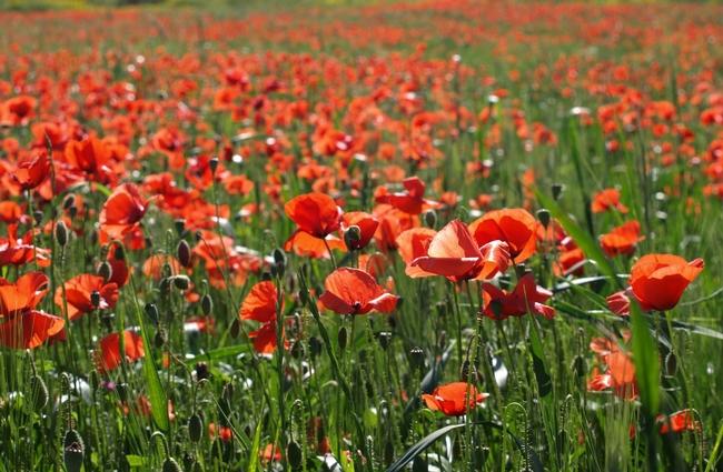 Red poppy (Veronica Ivanov.Unsplash)