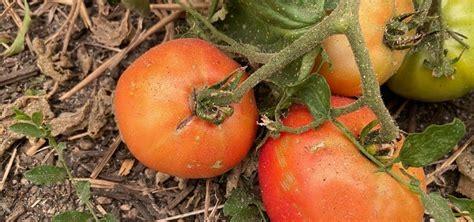 Ash on tomatoes (today.oregonstate.edu)