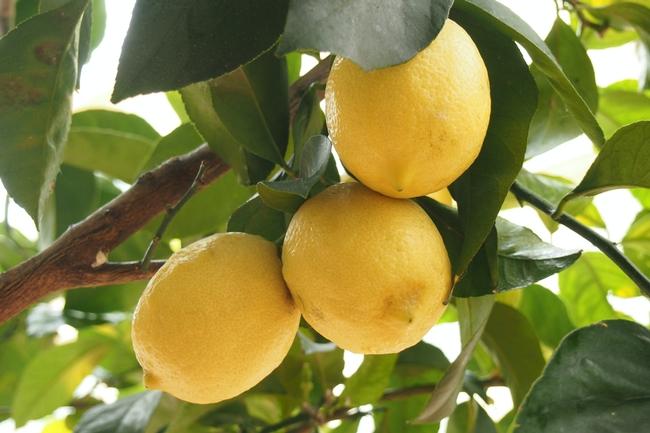 Citrus tree (bruno-neurath-wilson-unsplash)