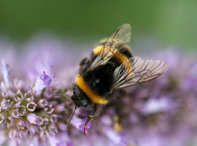 Bumblebee (sandy-millar-unsplash)