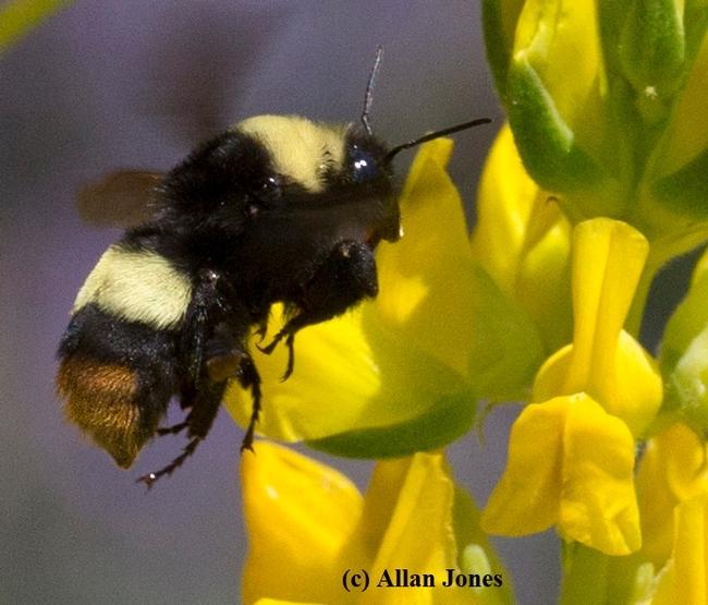 Crotch's bumblebee  (Copyright Allan Jones for ucanr.edu)
