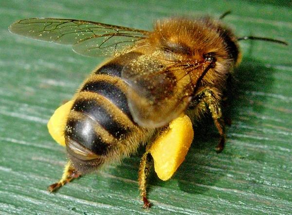 Bumblebee pollen baskets (theorganicview.com)
