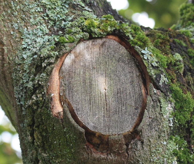 Tree pruning wounds.  The fact is the collar of the branch has healing plant hormones--no added wound seal needed. (swindon-bonsai.co.uk)
