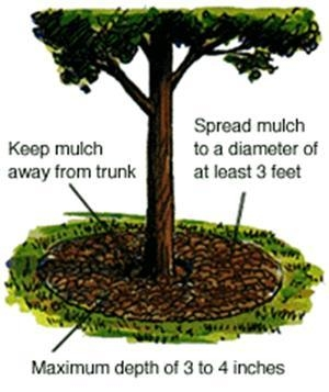 Use wood chips as mulch.  And keep mulch away from trunk (forethillsconnection.com)