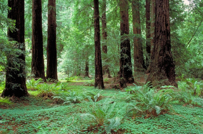 Muir Woods. (baynature.org)