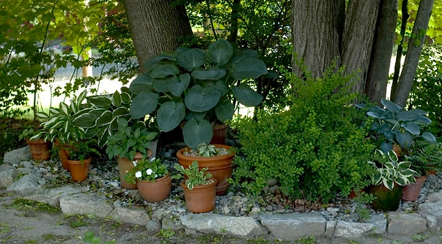 Potted plants under tree--granted, not a redwood, but the idea is the same. (flickr.com)