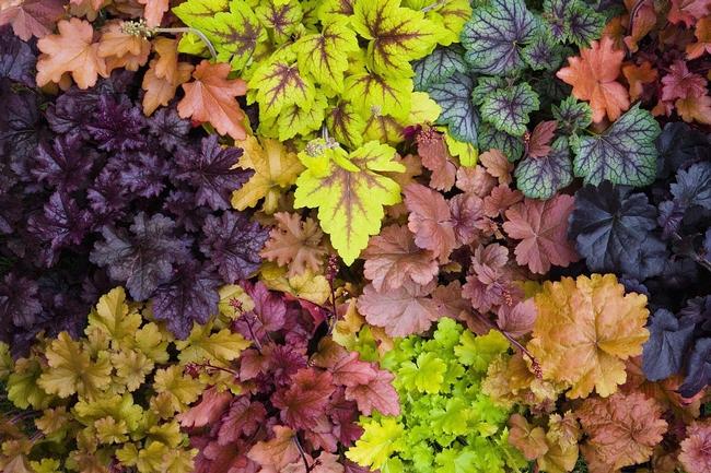 Heuchera, Coral bells, come in a myriad of colors. (thespruce.com)
