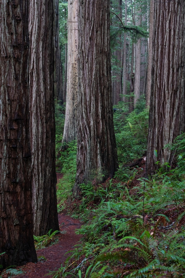 Redwood grove, belongs where there is a lot of room to grow. (Mason Field, unsplash)
