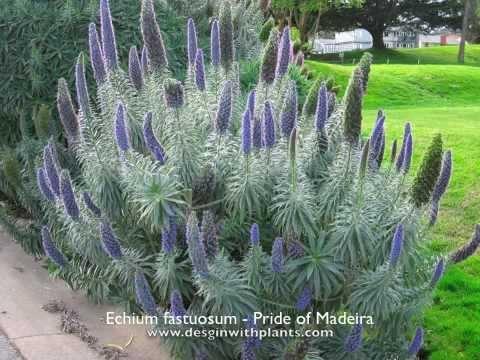 Pride of Madeira. (designwithplants.com)
