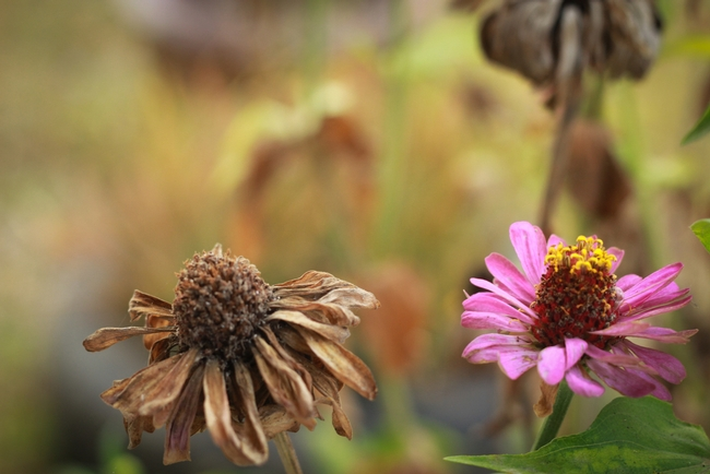Deadheading--put them in your own compost pile. (cottonwoodland.com)