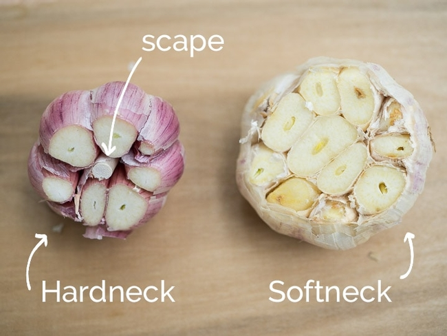 Hardneck vs softneck garlic. (garlicdelight.com)