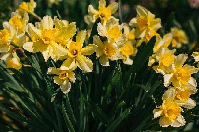 Daffodils (anton-darius-unsplash.)jpg