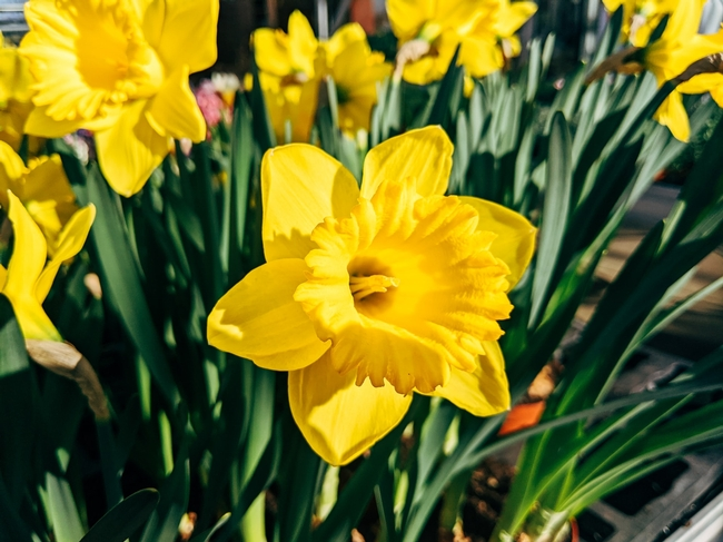 More Daffodils  (markus-winkler-unsplash)
