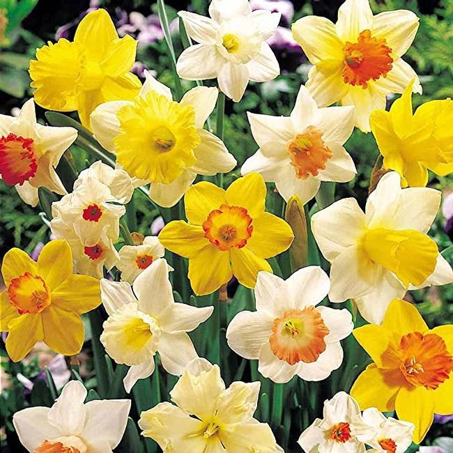 Colors of Narcissus (amazon.com)