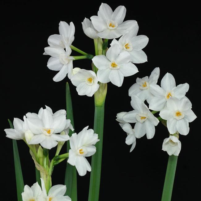 Paperwhite narcissus, multiple flowers on a single stalk (plantsam.com)