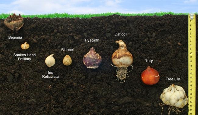 Bulb planting depth (gardenofeaden.blogspot.com)