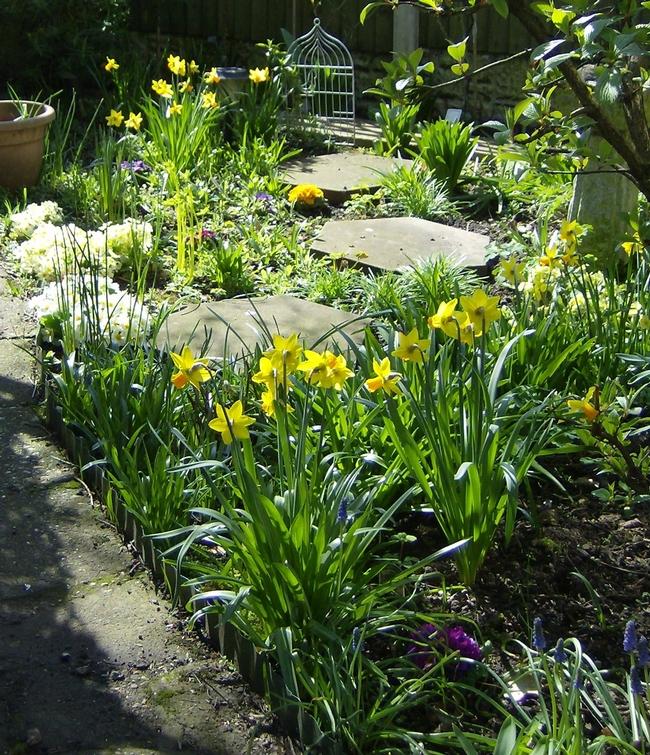Daffodils in garden (jeanne-lovemygarden.blogspot.com)