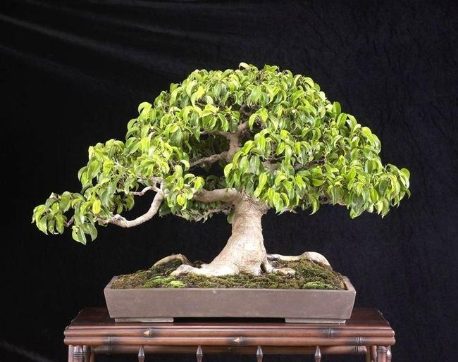 Weeping fig bonsai (ebay.com)