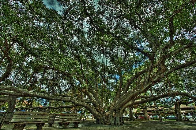 Lahaina Banyan tree, relative of Ficus benjamina (onlyinhawaii.org)