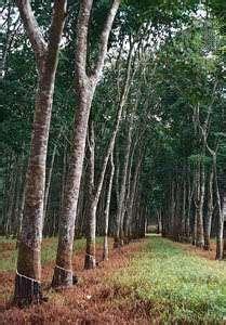 Ficus elastica (rubber tree), relative of Ficus benjamina (britannica.com)